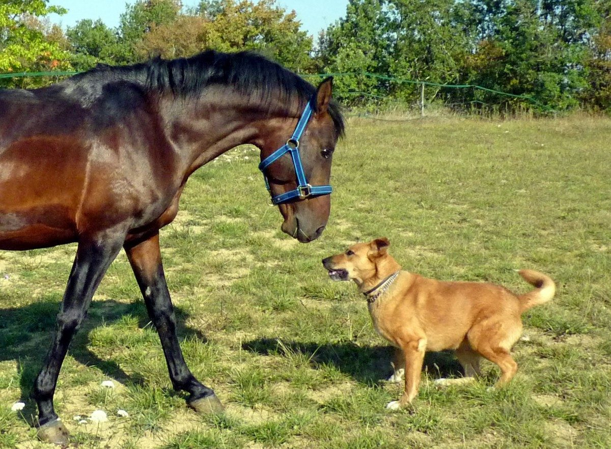 horse_pure_arab_blood_breeding_horses_equine_nature_dog_field_game-1374584.jpgd_-1200x882.jpg