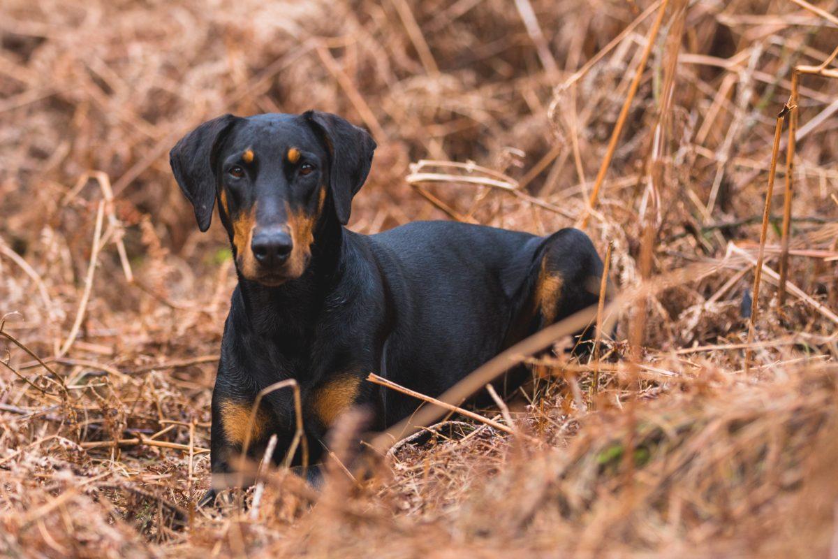 animal-canine-doberman-975413-1200x800.jpg
