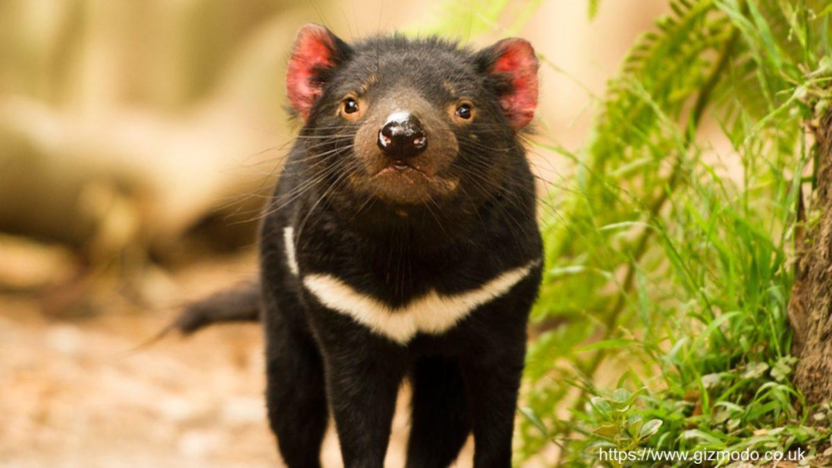 tasmanian-devil-1200x675.jpg