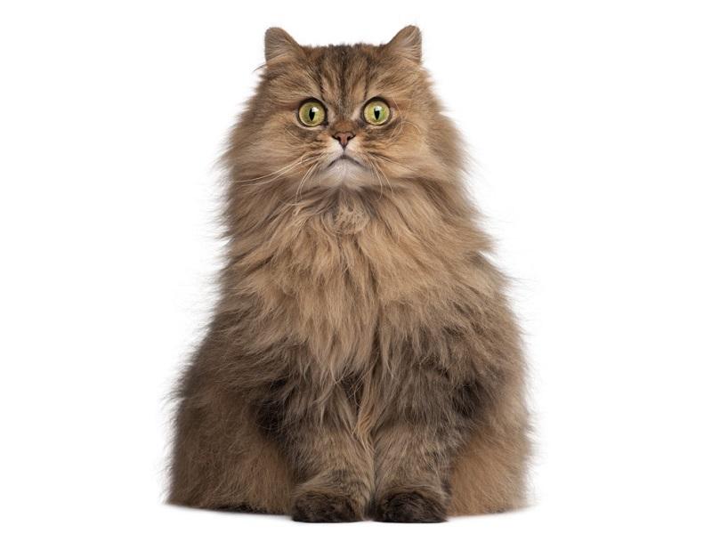 perská-kočka.jpg